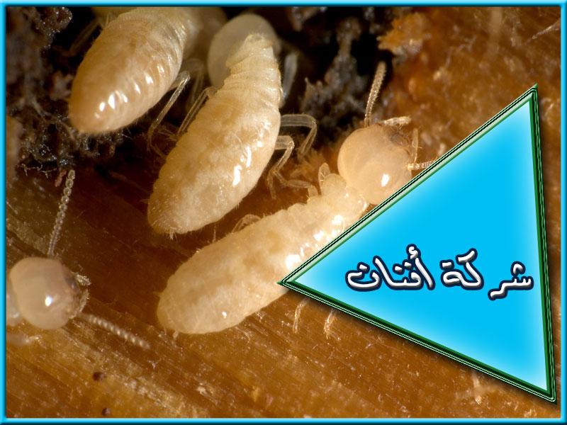 شركة مكافحة النمل الأبيض بجده